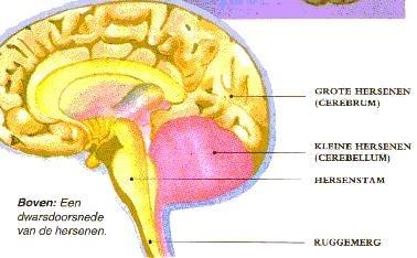 doorsnede hersenen1
