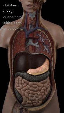 spijsvert-kanaal-maag