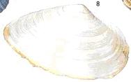 schelpen6